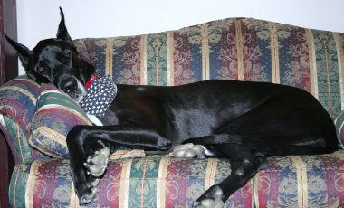 black Great Dane sleeping on a sofa