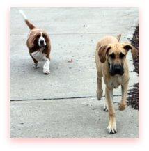 Bassett Hound and Great Dane puppy running